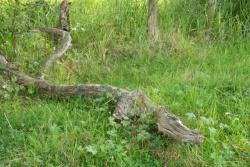 Le crocodile des marais(2).jpg