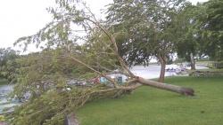 Le premier murier après la tempête Miguel.jpg